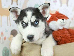 Siberian Husky-DOG-Male--2532565