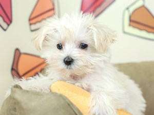Morkie-DOG-Female--2538891