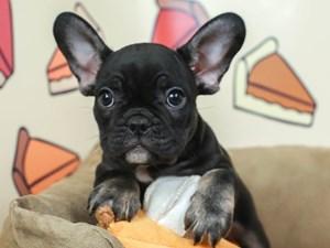 French Bulldog-DOG-Male-BLK/TAN-2537935