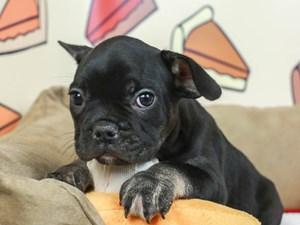 French Bulldog-DOG-Male-BLK/TAN-