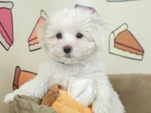 Maltese-DOG-Male-White-2537626