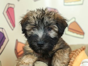 Soft Coated Wheaten Terrier-DOG-Male-WHEATEN-