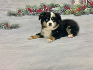 Dogs And Puppies For Sale Petland Las Vegas Nevada