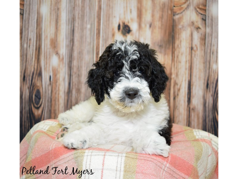 Mini Goldendoodle Dog White Silver Parti Id2539796