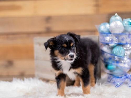 Grand Rapids Miniature Australian Shepherd Dog Adoption Grand Rapids, MI