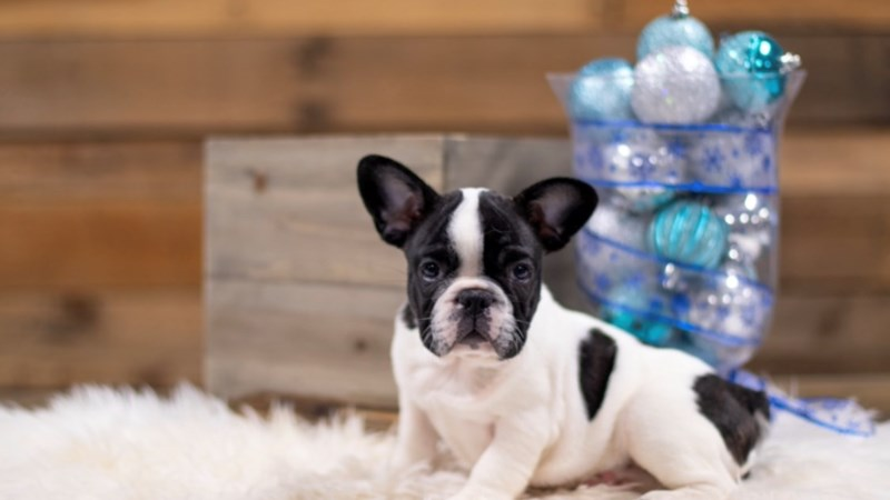 Grand Rapids French Bulldog Puppies