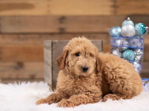 Grand Rapids F1B Goldendoodle Dog Adoption Grand Rapids, MI