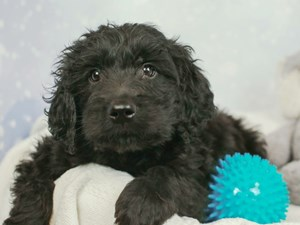 Goldendoodle-DOG-Male-BLACK-