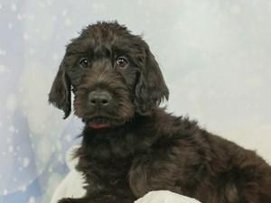 Labradoodle-DOG-Male--2545571