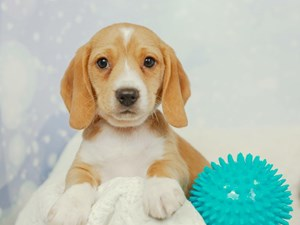 Beagle-DOG-Male-RED/WHT-