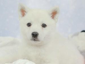 Pomsky-DOG-Female--2545811