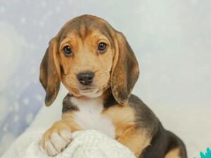Beagle-DOG-Female-TRI-2546028