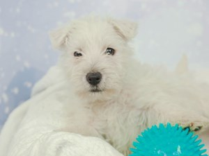 West Highland White Terrier-DOG-Male-WHITE-