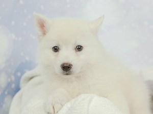 Pomsky-DOG-Male--