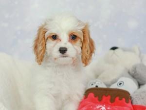 Cava Poo-DOG-Female--2546204