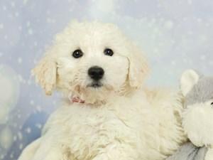 Bichon Frise-DOG-Female-White-2544581