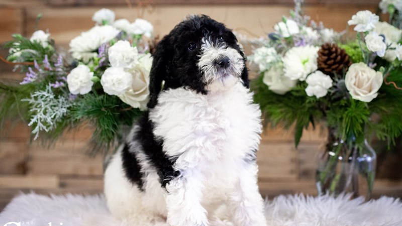 Grand Rapids Standard Poodle Puppies