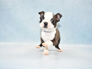 Boston Terrier-DOG-Male-Brindle and White-