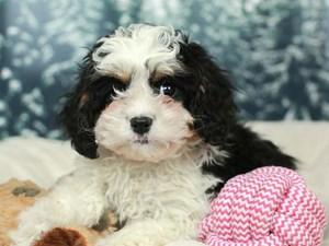 Cava Poo-DOG-Female--2556740