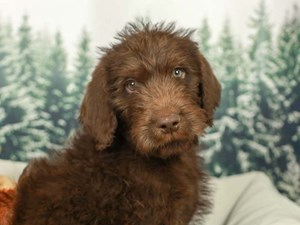 Labradoodle-DOG-Male--2556110