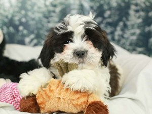 Teddy Bear-DOG-Male-Black and White-2555354