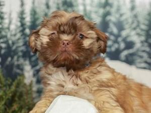 Shih Tzu-DOG-Male--2556382