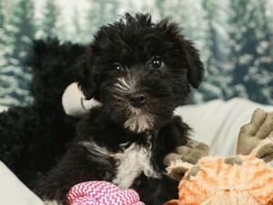 Yochon-DOG-Male-Black and Tan-2555385