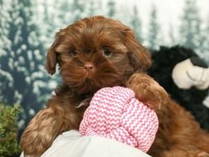 Shih Tzu-DOG-Male-LIVER CHOCOLATE-2556428