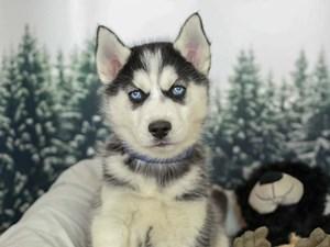 Siberian Husky-DOG-Male-BLACK/WHITE-2556178