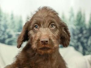 Labradoodle-DOG-Female--2556111