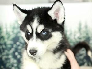 Siberian Husky-DOG-Male--2556451