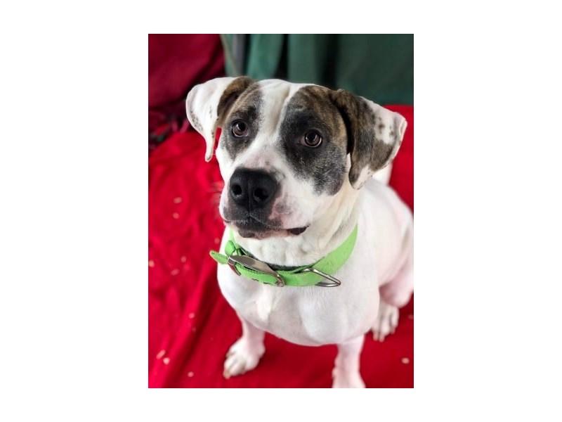 Mixed Breed-DOG-Female-White,Brindle-2561474