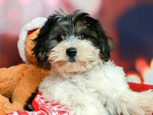 Morkie-DOG-Female-Black, Gold, and White Parti-