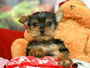 Yorkshire Terrier-DOG-Male-Black/Tan-2563869