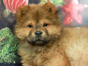 Chow Chow-DOG-Male-CINNAMON-
