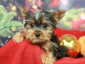 Yorkshire Terrier-DOG-Male-Black and Gold-