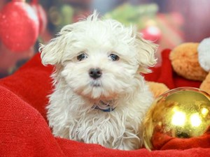 Maltese-DOG-Male-White-2562655