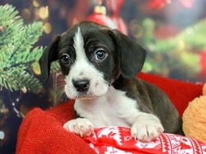 Boggle-DOG-Male-BRINDLE/WHITE-2563977
