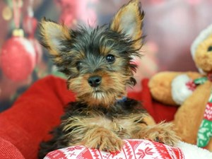 Yorkshire Terrier-DOG-Male-Black and Gold-2562911