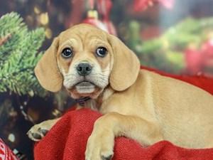 Puggle-DOG-Male-Fawn-