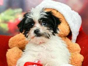 Morkie-DOG-Female-Black, Gold, and White Parti-2563812