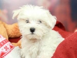 Morkie-DOG-Male--2564318