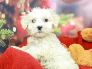 Maltese-DOG-Male-White-2562646