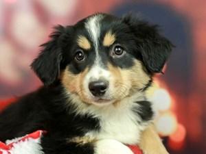 Mini American Shepherd-DOG-Female-BLACK-2564168