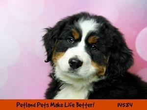 Dogs Puppies For Sale Petland Chicago Ridge Illinois