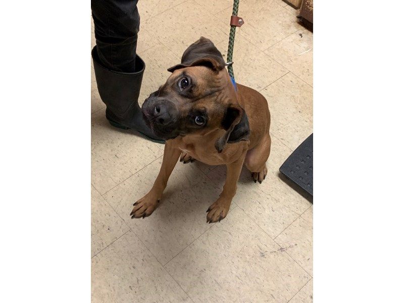AAP Boxer Mix-DOG-Male-Brown-2565343