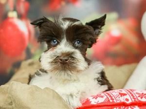 Mini Schnauzer-DOG-Male--2568907