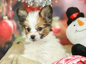 Papillon-DOG-Male-White and Red-