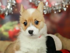 Pembroke Welsh Corgi-DOG-Female-Red-2568623