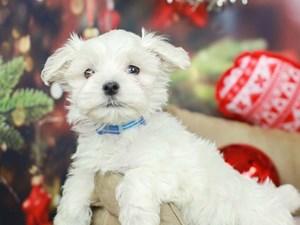 Maltese-DOG-Male-White-2568545